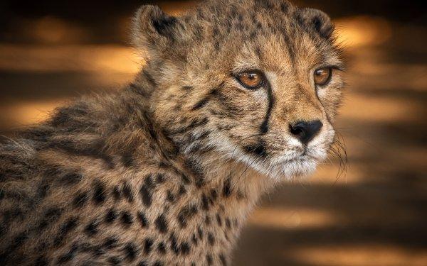 Animal Cheetah Cats Big Cat Wildlife Baby Animal Cub HD Wallpaper | Background Image