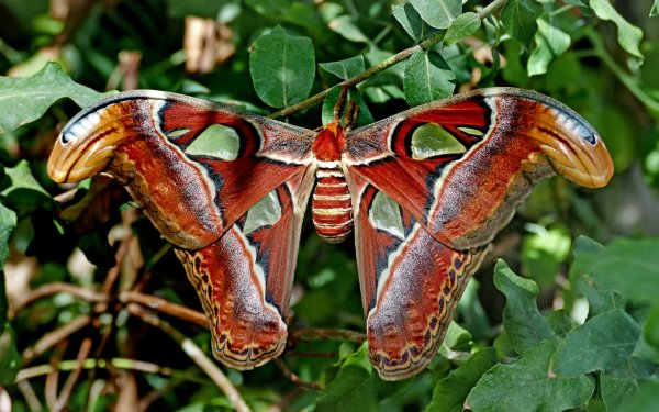 Animal Moth Atlas Moth Insect HD Wallpaper   Background Image