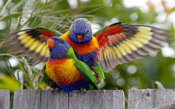Animal Rainbow Lorikeet Birds Parrots Bird HD Wallpaper   Background Image