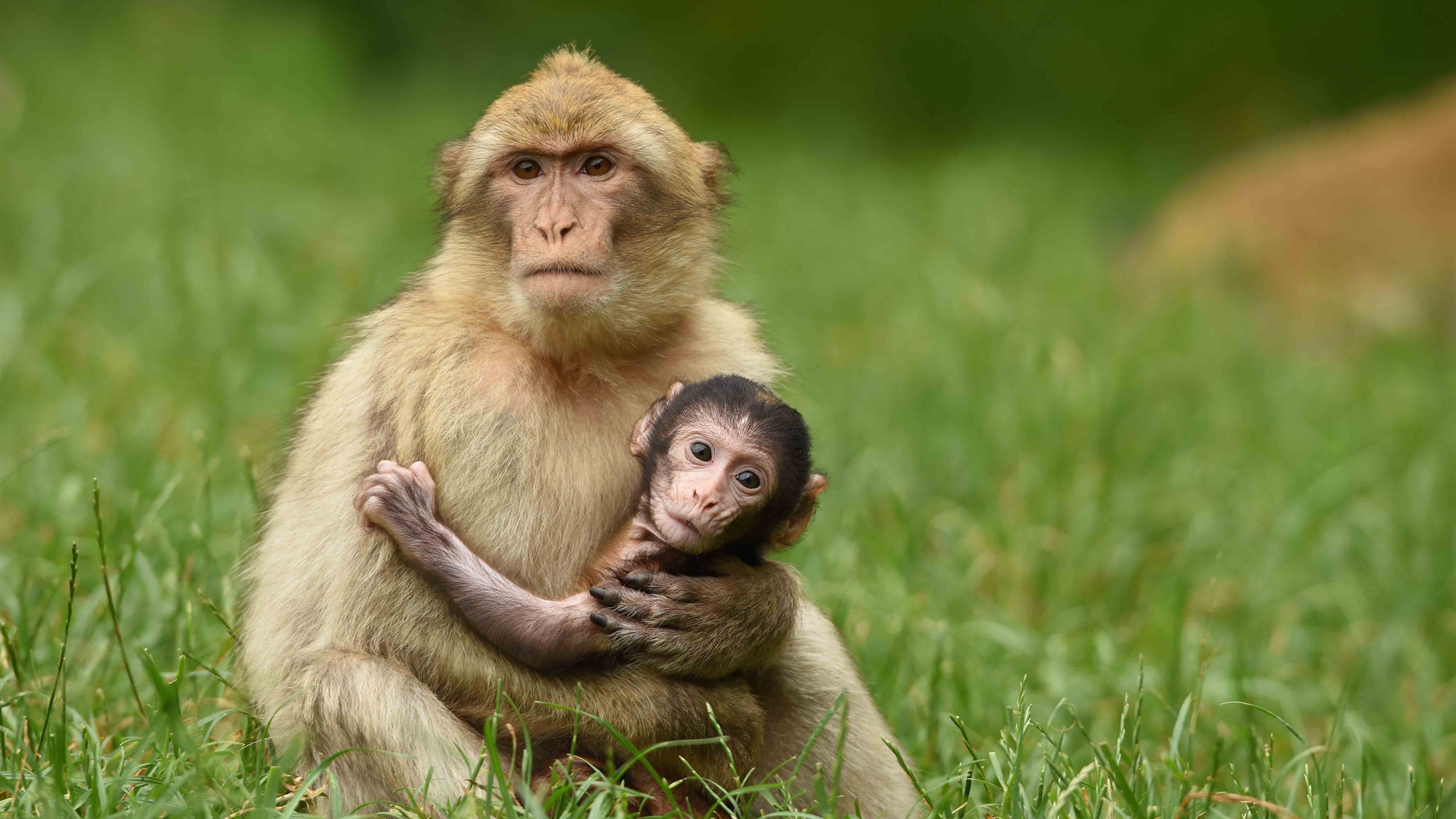 Mother And Baby Monkey Hd Wallpaper Background Image 2000x1125 Images, Photos, Reviews